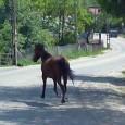 Toate nenorocirile de pe şoselele din Gorj şi nu numai provocate de animalele lãsate la voia întâmplãrii mai ales pe drumuri naţionale sau europene nu par sã-i fi speriat câtuşi...