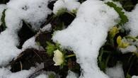 Deşi calendaristic de apropiem tot mai mult de 1 Mai, la nivelul judeţului continuă să fie înregistrate precipitaţii abundente, mai ales sub formă de ninsoare în zona montană. La Rânca...