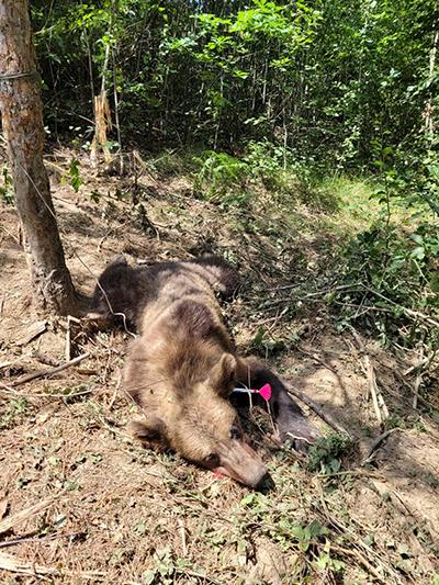 O ursoaică a scăpat ieri cu viaţă după ce s-a prins într-un laţ, incidentul producându-se pe raza comunei Turcineşti, în satul Horezu. Doi vânători aflaţi în zonă au auzit răcnetele...